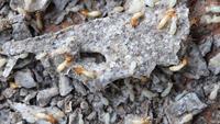Makro von Termiten oder weißen Ameisen