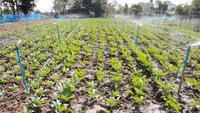Sistema de irrigação de campo de couve