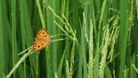 Butterfly on fresh green rice plant