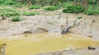 Affen spielen im schlammigen Teich