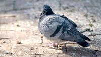 Pigeon Standing And Preening On The Paving Stone