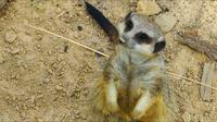 Animal Curious Meerkat