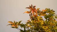 Autumn Leaves On The Top of a Tree