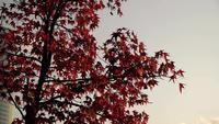 Japanese Maple Tree at Istanbul During Autumn