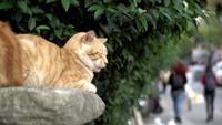 Les chats au gingembre font la sieste sur un mur de jardin