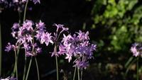 Lila Blumen in Zeitlupe an einem sonnigen Garten