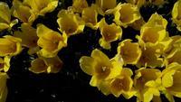 Gelbe Tulpen, die mit dem Wind schwingen