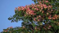 Zomerchocolade Mimosa Tree of Albizia Julibrissin