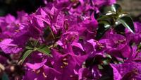 Bougainvillea Tree Blossom
