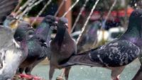 Pigeons debout à côté de la fontaine