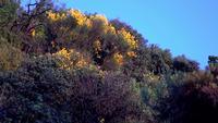 Fleurs de genêt sur une colline