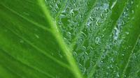 Rain water drops into green leaf, 4K