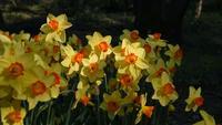 Gelbe Narzissen oder Narzissenblüten, die sich mit einer Brise bewegen