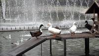 Patos en el parque Yildiz