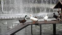 Ducks at The Yildiz Park
