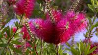 Bees Flying On Bottle Brush Flowers