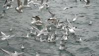 Seagulls Are Fighting for Food