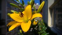Dwarf Daylilies On The Balcony