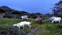 Cabras pastando na montanha do oceano