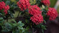 Rubiaceae flor vermelha molhada com chuva, 4k