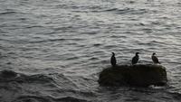 Grandes cormoranes descansando sobre una roca en el mar