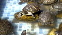Water Turtles  In The Pool