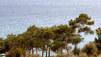 Pine Trees And Ocean Waves View