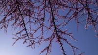 sommet de l'arbre redbud