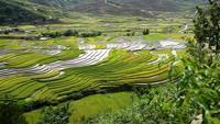 Risfält på terrasserade på Mu Cang Chai, Sapa, Vietnam