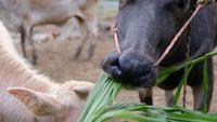 Búfalo comendo grama