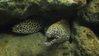 Big Moray Eel in A Coral Reef