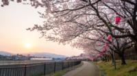 Kirschblüten Sakura mit Gehweg
