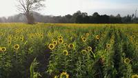 Sonnenaufgang über einem Feld von Sonnenblumen
