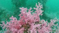 Soft Pink coral growth on Artificial cubic cement reef