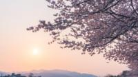 Kirschblüten Sakura mit der Sonne