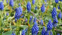 Muscari of Grape Hyacinth met vliegende bijen