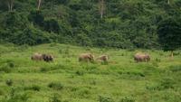 Incrível grupo de elefantes asiáticos