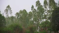 Windy Rainstorm Over the Trees