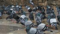 Les pigeons cherchent de la nourriture
