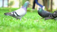 Pigeons on The Green Grass