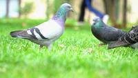 Pombos na grama verde