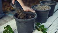 Préparation du sol en pots pour planter des arbres