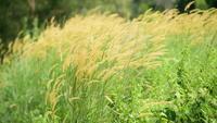 Trockenes Gras auf der Wiese