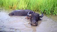 Un búfalo en el barro