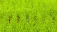 Fondo de arroz verde