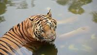 A Tiger in The Water