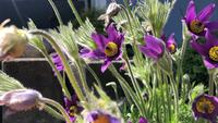 Pasqueflower camera slide in 4K