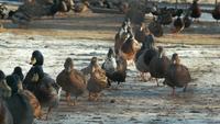 Bandada de patos caminando en el camino