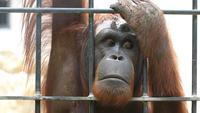 Grand orang-outan en cage.