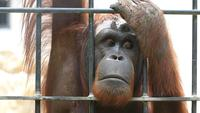 Big Caged Orangutan.